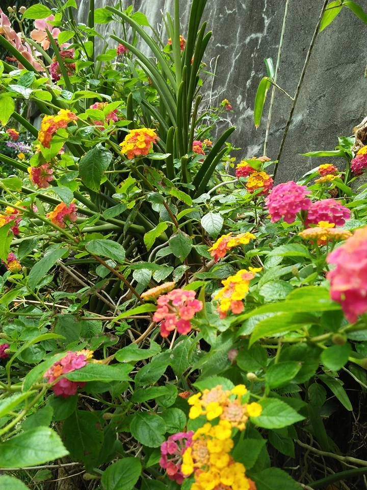 Lantana Were Planted In My Garden To Protect My Plants Lantana Gardening Tips