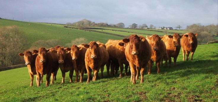 South Devon cattle. Known as 'Gentle Giants'.