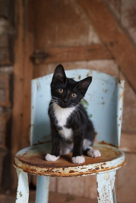 Black & White Kitten seated on a Blue Shabby Chic Metal Chair ....