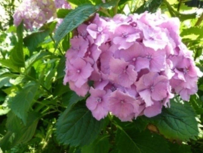Hortenzie lze pěstovat nejen na zahrádce v záhoně, ale také jako přenosné rostliny.