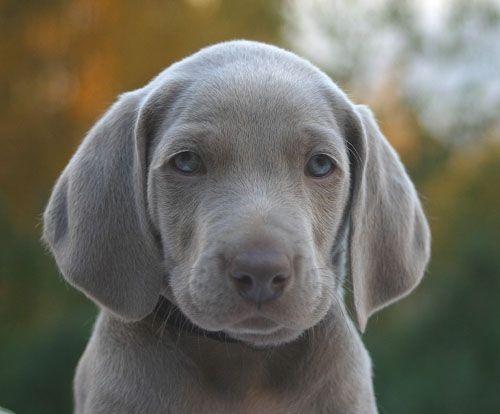 Weimaraner puppy. I've never had one but I just love that smokey blue-grey color! Their coats always remind me of the texture of velvet. Really, a very pretty animal.