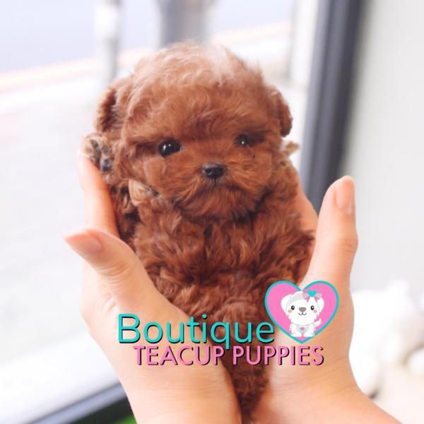 Happiness Radiates From The Adorable Baby Harley 3 Superb Quality Level Extreme Teddy Bear Vip Puppy Micro Red Poodle Sold To Joseph Teacup Puppies Teacup Puppies For Sale Red Poodles
