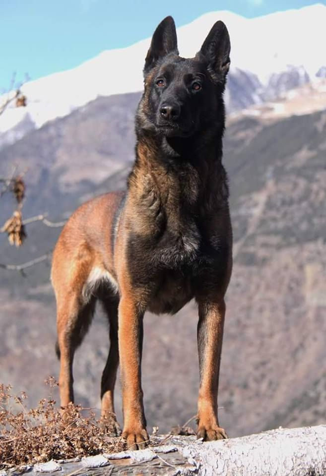 Found On Bing From Www Pinterest Ca Belgian Malinois Dog