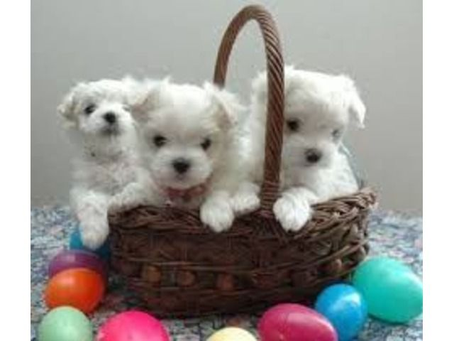 Lovely Maltese Puppies Available For Adoption Puppies Maltese