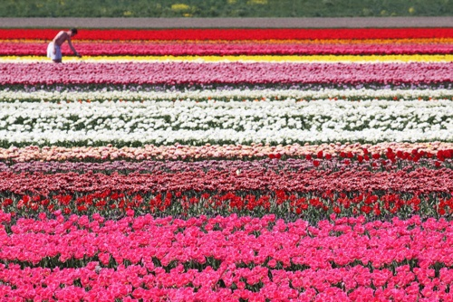 field of Dutch Tulips and other flowers