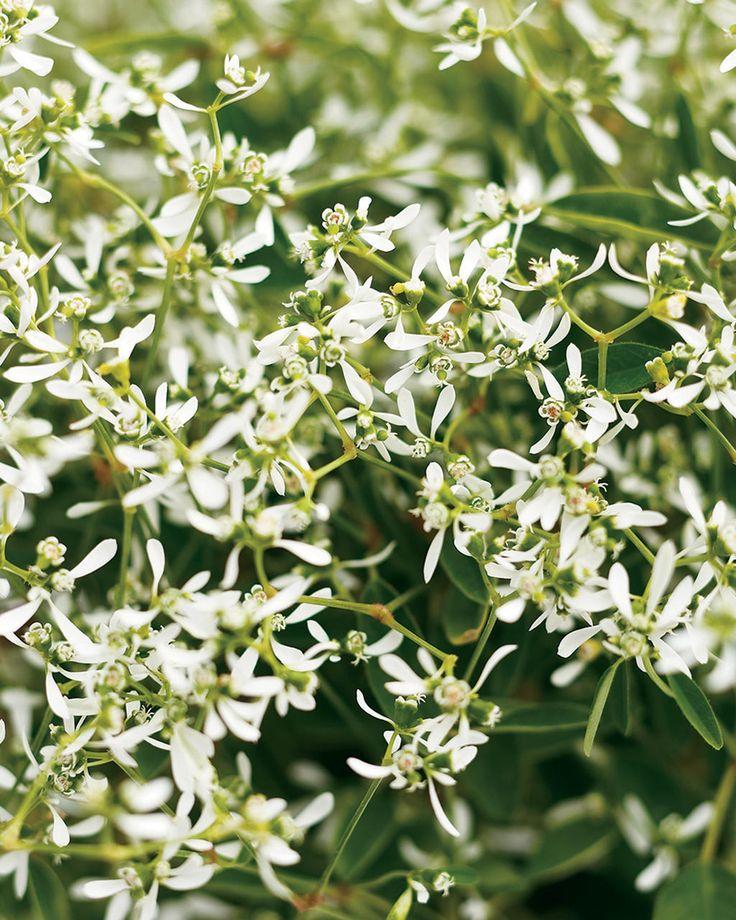 Look for this plant - Dark Knight™ Sweet Alyssum Lobularia hybrid