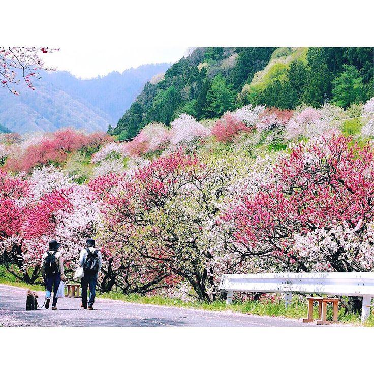 花桃さんぽ  #hanapeach#flower#plants#tree#canon#canon_photos#mountains#landscape#nature#scenery#travel#長野#阿智村#月川温泉#花桃#ハナモモ#花桃の里#花#植物#山#自然#風景#旅 http://tipsrazzi.com/ipost/1524475110722336614/?code=BUoBglDh3dm