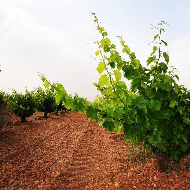 Nuestros #viñedos en la #RiberadelDuero rebosan frescura y lozanía. Ellos nos darán el fruto presente en los cosméticos #ESDOR, formulados a base de #uva y #polifenoles de #uvatinta en #España. #vineyards #viñas #vides #vid #grape #grapes #cosmetic #cosmetics #spain #paisajes #naturaleza #natural #landscape #spanishlandscape