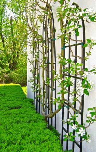 Espaliered Apple Tree with Evergreen Hedges