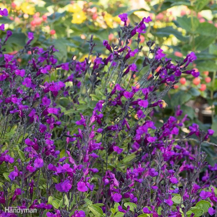 VIBE 'Ignition Purple' is a Salvia and jamensis hybrid with both beauty and brawn. The vibrant purple blooms are prolific in spring and summer. But it also has excellent heat and humidity tolerance. 'Ignition Purple' grows 18-24 in. tall and wide and is perfect for flower borders, cutting gardens and wildlife plantings. It is hardy in Zones 7-11. Photo courtesy of Monrovia