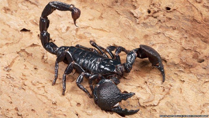 King scorpion animal - photo#40