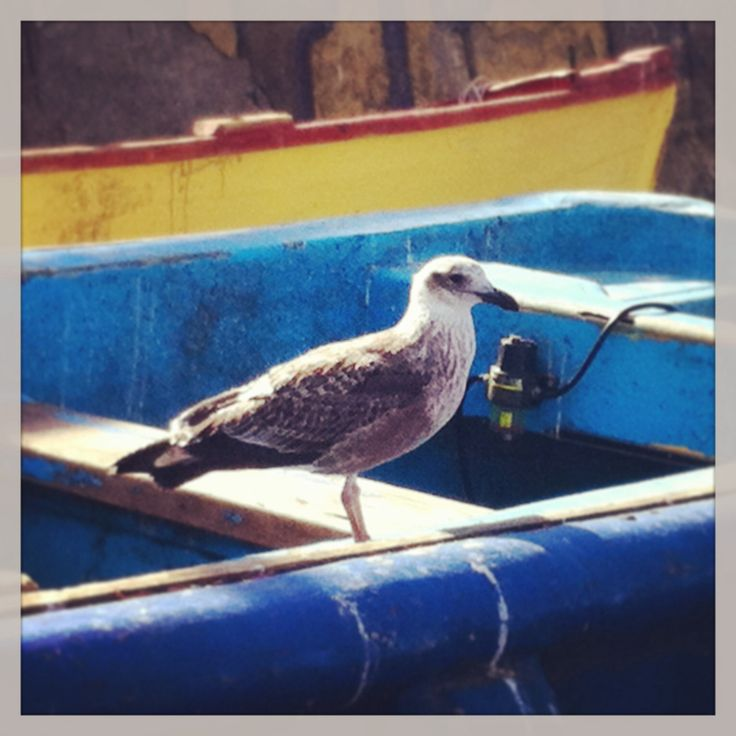 Pichidangui, Chile. Mayo 2014 iphone camera. #Gaviota