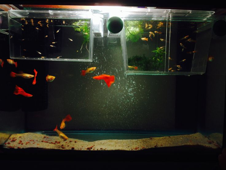 guppy fish tank with adults and babies oh how i wish i
