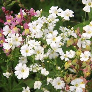 White Baby's Breath Seeds, Gypsophila elegans