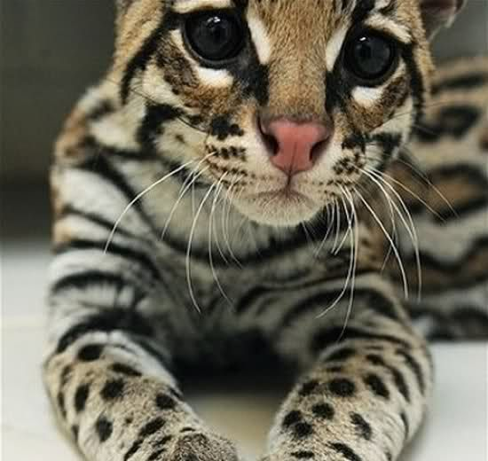 Look how sweet and innocent this little ocelot looks!  I can has?