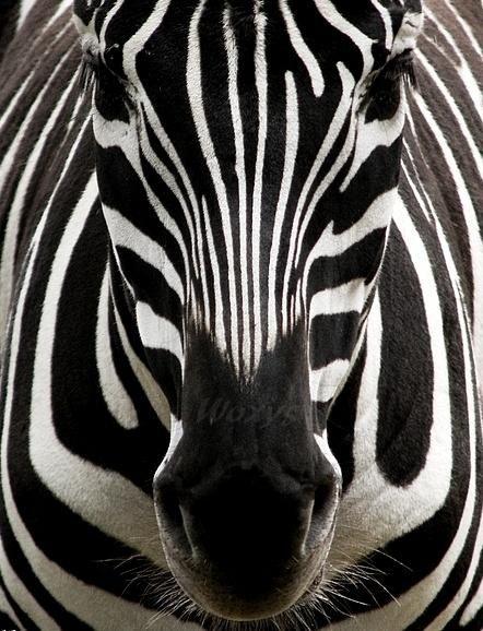 Zebra, beautiful #wild #animals  www.greenglobaltravel.com