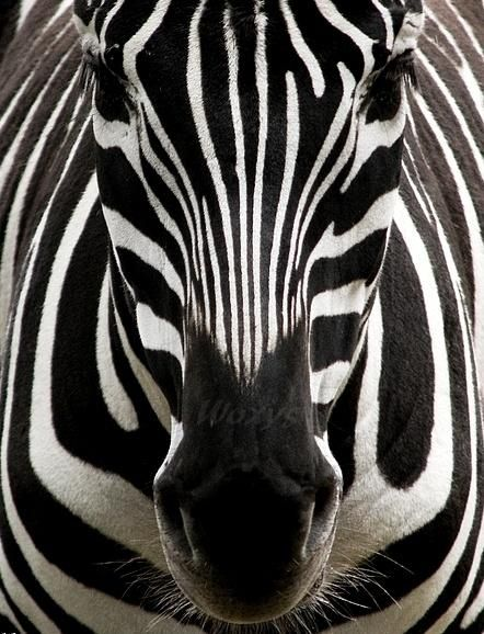 And to think that God made every single zebra's stripes different is truly amazing!