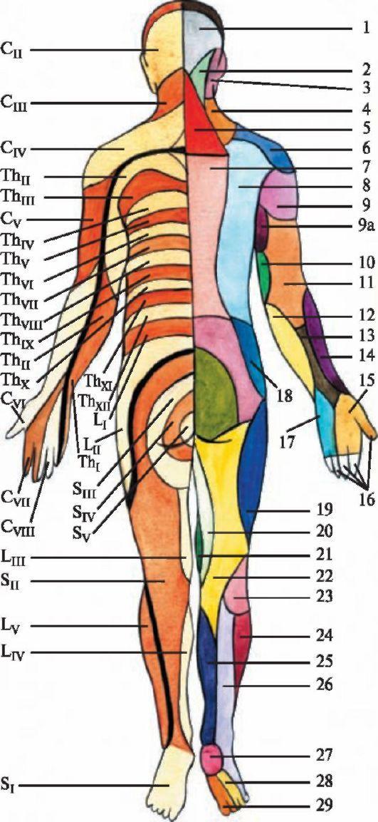 Мозга Слева, Анатомия Мозга,