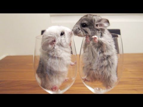 Baby chinchilla kisses! I wish I could have seen my chinchilla Chimi when she was this little.