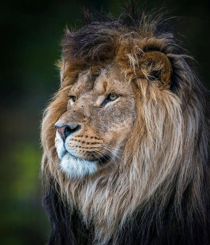 This lion IS king!!