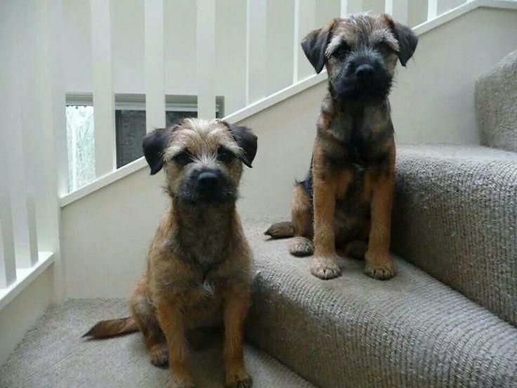Annie & Izzy | Border Terriers