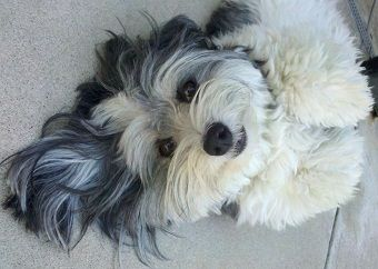 Havanese looking for a cuddle.