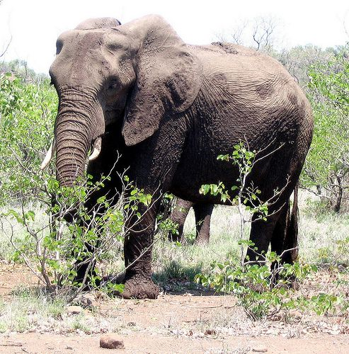 Elephant feeding on marula near Oliphants in the Kruger Park