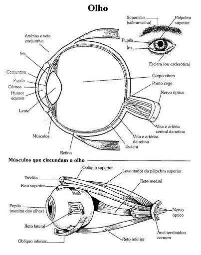 77 best occhio anatomia images on pinterest