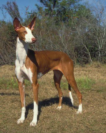 Breed Love | Doggerel - Rare Dog Breed #10 of #12 : Ibizan Hound