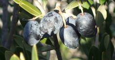 La aceitunas negras y sus beneficios para la salud. La aceituna es un fruto que crece en árboles. Cuando está totalmente madura, toma un color negro; no obstante, no todas las aceitunas maduras son naturalmente negras. Los métodos de procesamiento como la fermentación, o la exposición al aire pueden causar que tomen un color más oscuro. Las aceitunas varían en color, origen, tamaño, forma y sabor. ...