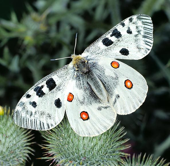 Parnassius Apollo butterfly