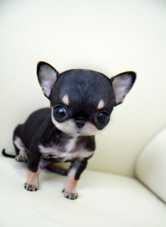 Applehead Teacup Chihuahua | Puppies for Sale