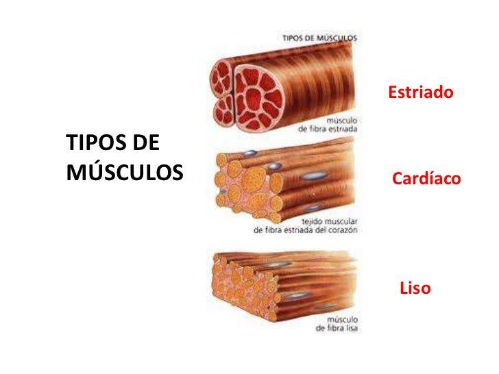 tipos de musculos estriados lisos y cardiacos - Buscar con Google