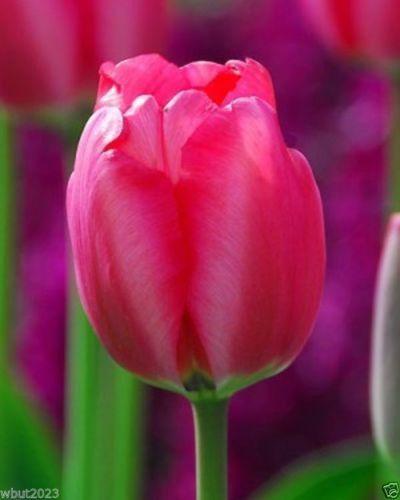 Tulipa Darwin Hybrid Niigata,(10 Bulbs) huge bright flowers ,Now shipping