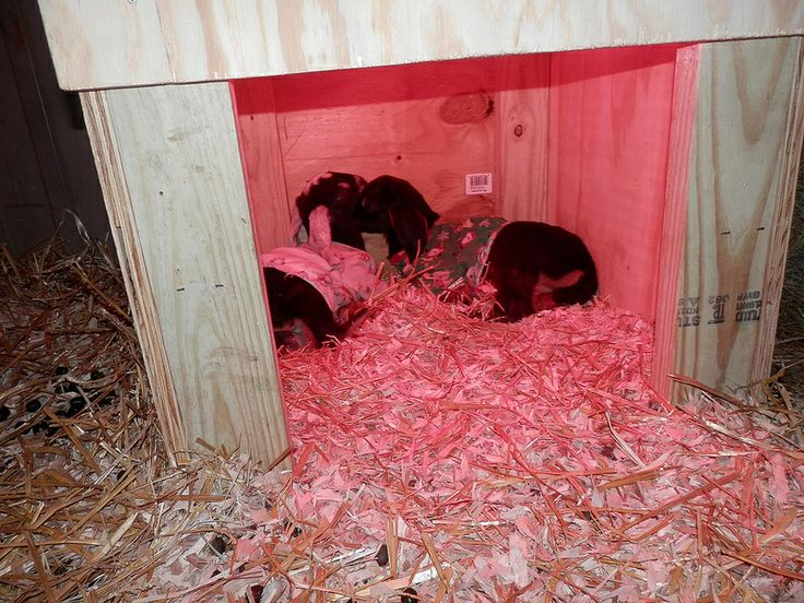Kid (baby goat) warming box. Heating lamp hangs inside. This was ...