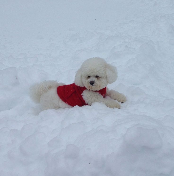 The King of the snow (Bichon Frise)