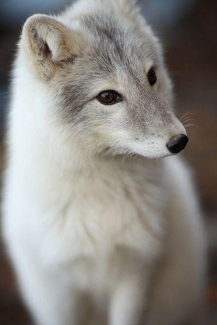 Roxy, the Gray Fox, near Bloomington, Illinois by Symbiosis, via Flickr