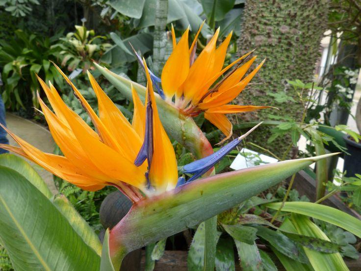 Oiseau De Paradis Strelitzia Reginae Plante Ideale En Pot Serre Ou Verandas Dans Une Piece Lumineuse Fraiche En Hiver 13 Oiseau Du Paradis Fleurs Plante