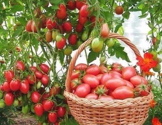 1. Нельзя подготавливать в теплице слишком богатый питательный грунт для этой культуры. Вносить (даже с осени) навоз или подкармливать коровяком о период вегетации.2. Не стоит поливать томаты в пер…