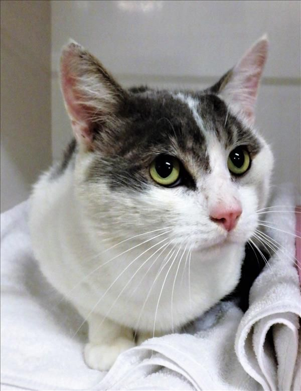 Hey there, I'm Humphrey. I'm a very chatty cat, who loves to hang out with my humans. I'm also a great listener and companion. I'd love nothing more than to curl up next to you and hear all about your day! Come find me in Toowoomba! http://bit.ly/2rTbrQQ