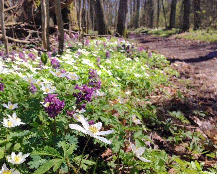 Wood anemone in Finland