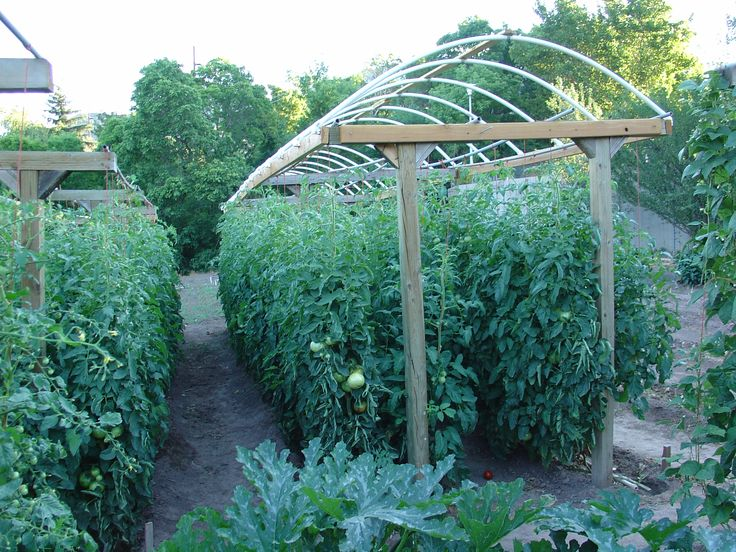 Here is a great way to grow a lot of tomatoes in a small for Great garden ideas