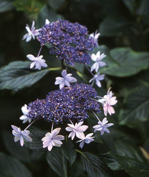 Hydrangea Macrophylla Izu No Hana It Grows In Zones 6