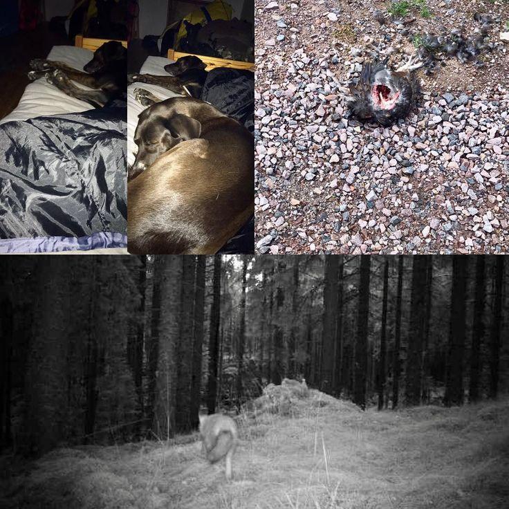 Först låg Olga vid fötterna sen kom blixtra å knôdde in sig. Sen säger det pling i telefon då är herr räv ute och smyger i skogen och på morgonen ligger det en ung tjädertupp i backen nedanför jaktstôga. #jaktförvp#måghunters#mågförlivet#rovdjur#tjäder#blandras#plotthound#finnishhound#finnstövare#plottstövare#laika#snartaugusti#jakt#jagd#hunter#hunt#hunters#outdoor_brotherhood http://misstagram.com/ipost/1569532941863673733/?code=BXIGeUXDt-F