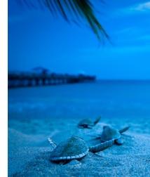 Fort Lauderdale Sea Turtle | Nesting Season