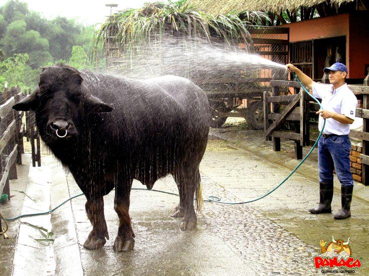 Antes de ir a trabajar disfruto de un chapuzón, es algo que me gusta mucho pues soy un búfalo de agua.