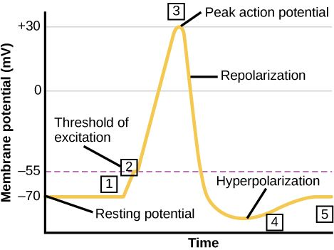 Graph plots membrane potential in millivolts versus time. The membrane remains at the resting potential of -70 millivolts until a nerve impulse occurs in step 1. Some sodium channels open, and the potential begins to rapidly climb past the threshold of excitation of -55 millivolts, at which point all the sodium channels open. At the peak action potential, the potential begins to rapidly drop as potassium channels open and sodium channels close. As a result, the membrane repolarizes past the…