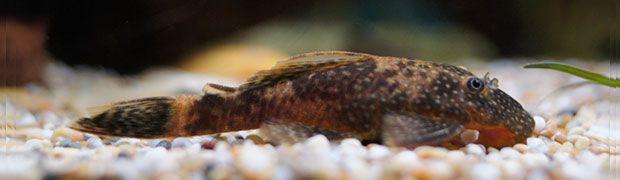7 Best Freshwater Aquarium Algae Eaters