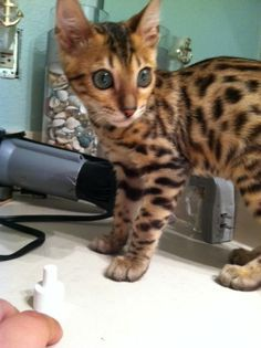 8 best the bengal cat images on pinterest bengal cats cats and funny animal. Black Bedroom Furniture Sets. Home Design Ideas