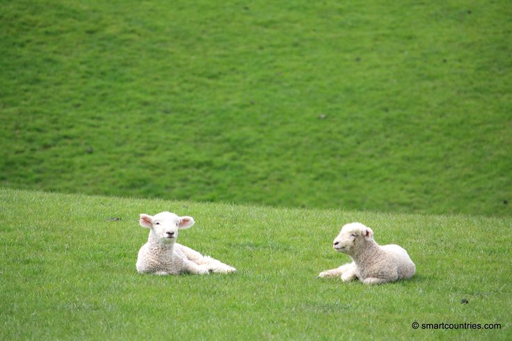 Two New Zealand Lambs
